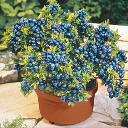 blueberries in pot