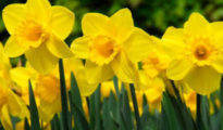 How to Plant, Care For, and Grow Daffodils