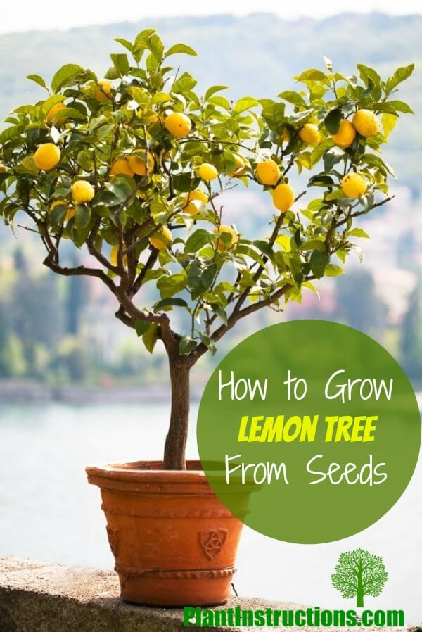 How to grow a lemon tree from seeds in a pot plant Planting lemon seeds for smell