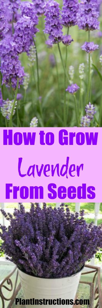 how to grow lavender from seed plant instructions. Black Bedroom Furniture Sets. Home Design Ideas