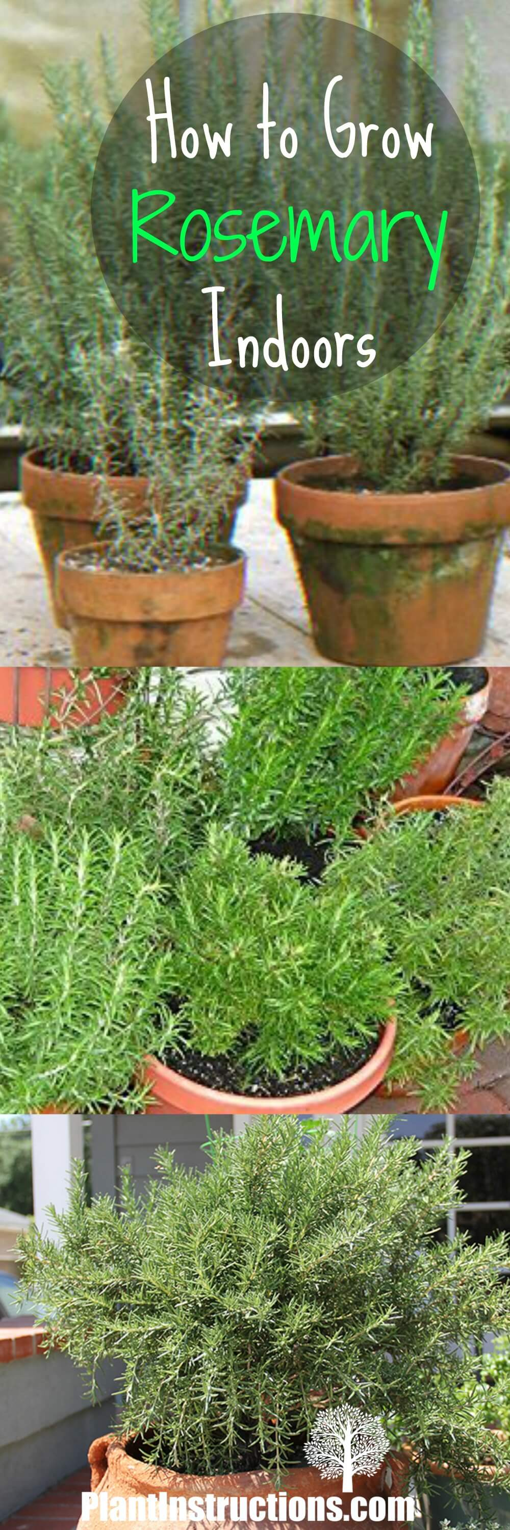 How to Grow Rosemary Indoors: Growing Rosemary Indoors
