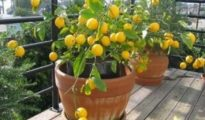 How to Grow a Lemon Tree From Seeds in a Pot
