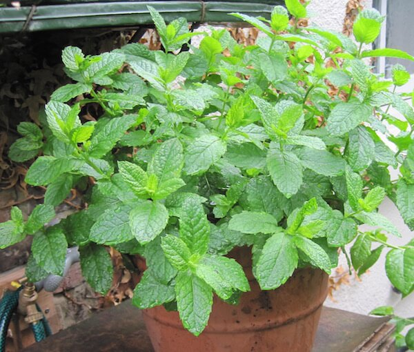 mint plant in pot