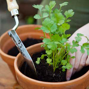 planting parsley