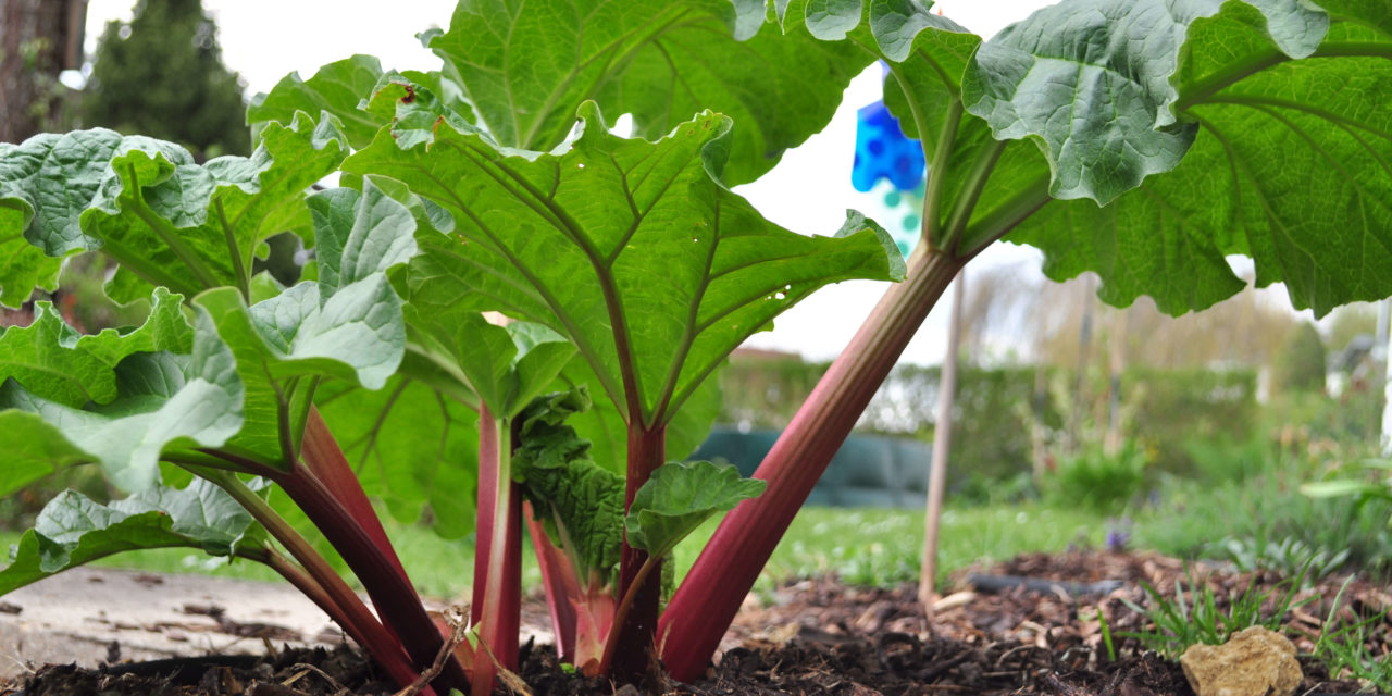How to Grow Rhubarb in a Pot or in the Garden