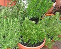 How to Grow Rosemary Indoors or in a Pot