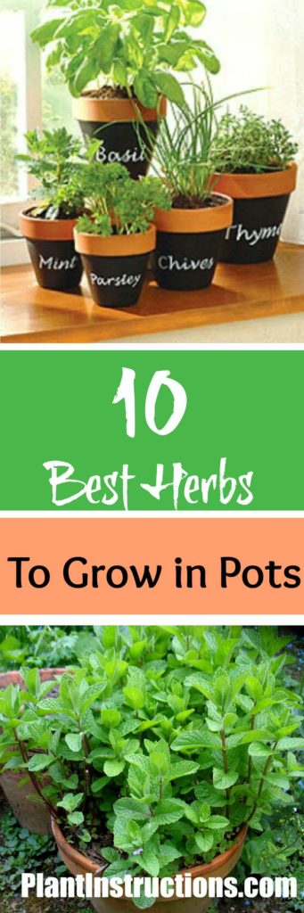 10 best herbs to grow in pots plant instructions. Black Bedroom Furniture Sets. Home Design Ideas