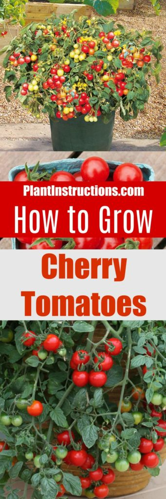 How To Grow Cherry Tomatoes In Pots Plant Instructions