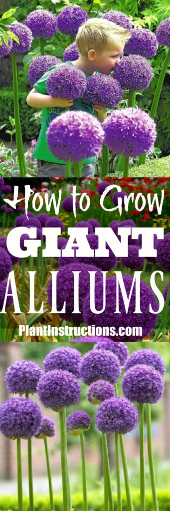 How to Grow Giant Alliums