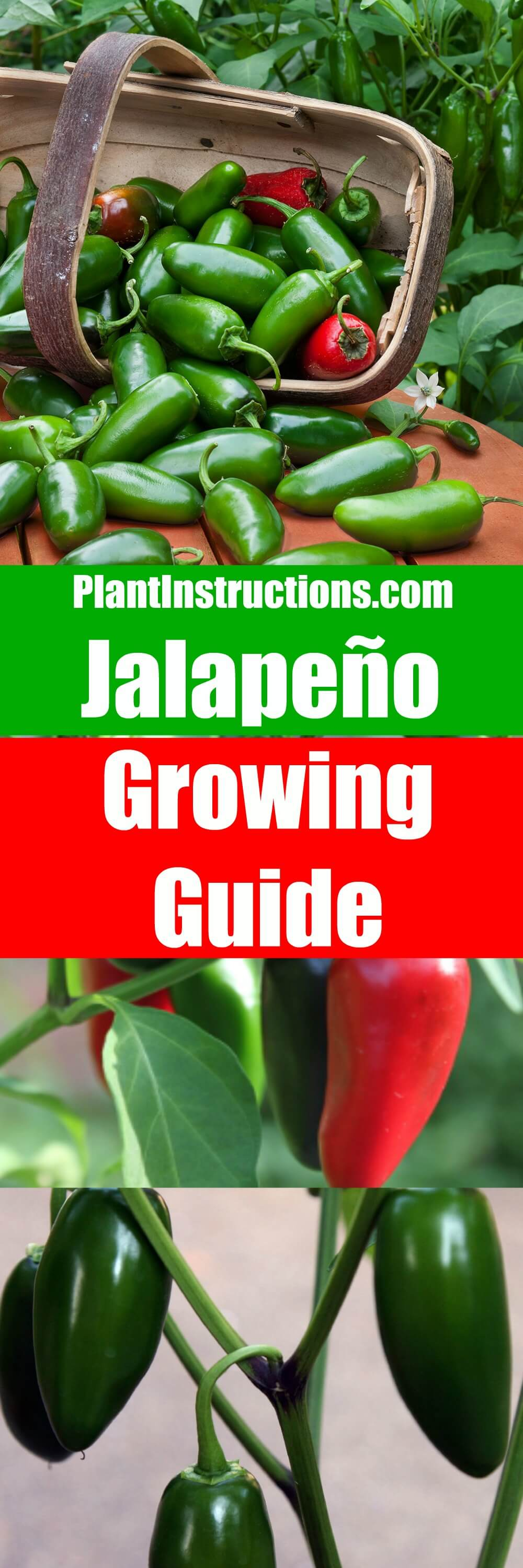 Growing jalapenos is easy and this gardening guide will show you exactly how to plant, grow, and harvest jalapenos! Germination occurs within just 2 weeks!