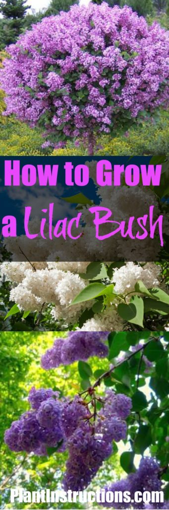 How To Grow Lilacs Plant Instructions