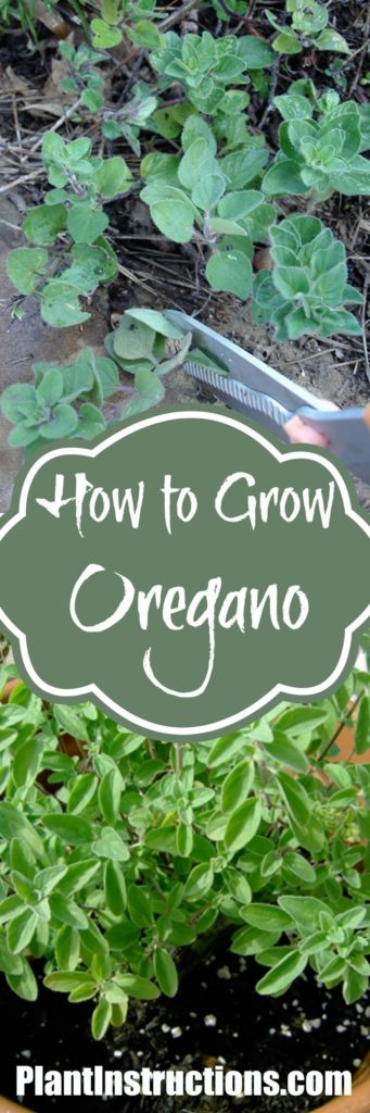 How to Grow Oregano