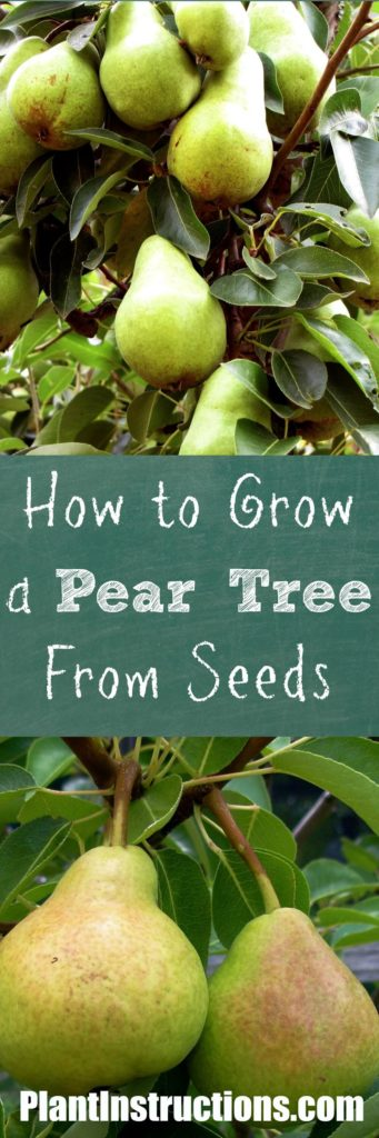 How to Grow a Pear Tree From Seeds