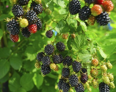 7 Tips for Growing Blackberries in Pots or in Your Yard