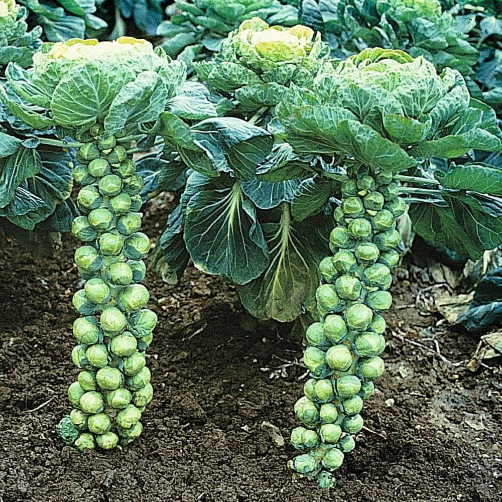 brussels sprouts in shade