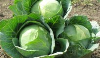 How to Grow Cabbage Plant From Seeds