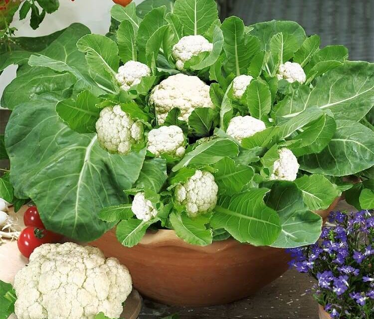 How to Grow Cauliflower in Pots or Containers
