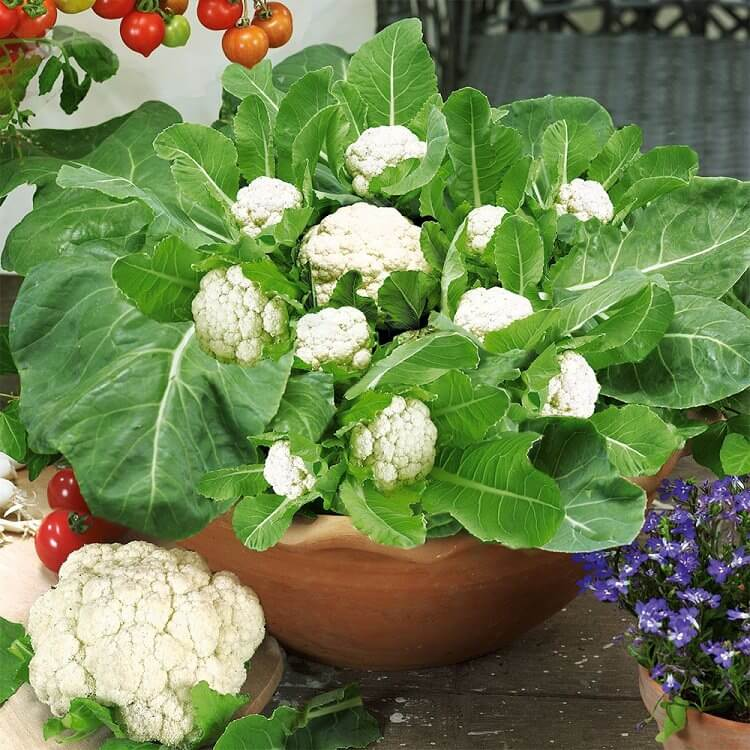cauliflower in pot