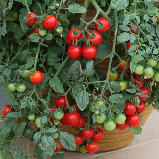 cherry tomatoes in container
