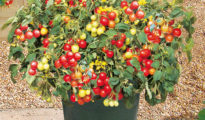 How to Grow Cherry Tomatoes in Pots