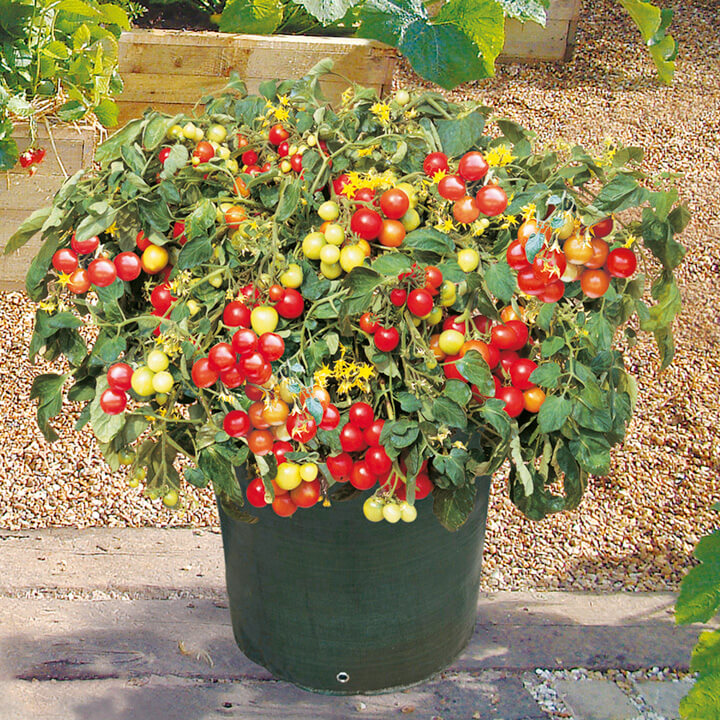 cherry tomatoes in pot
