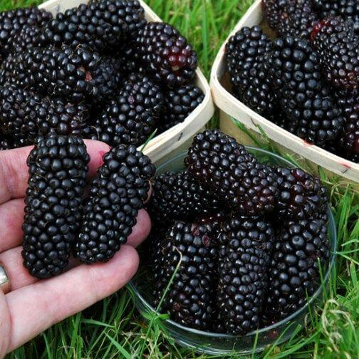 giant blackberries