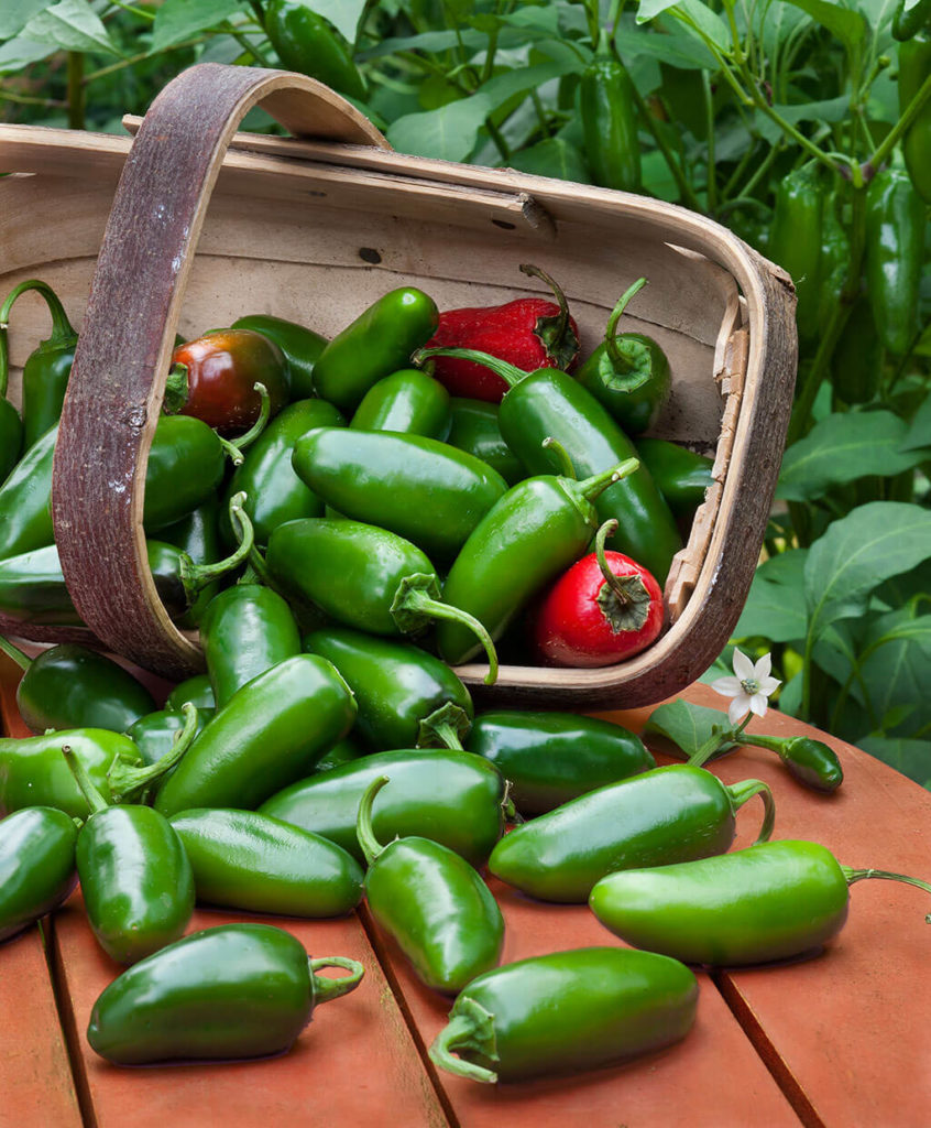 harvested jalapeno peppers