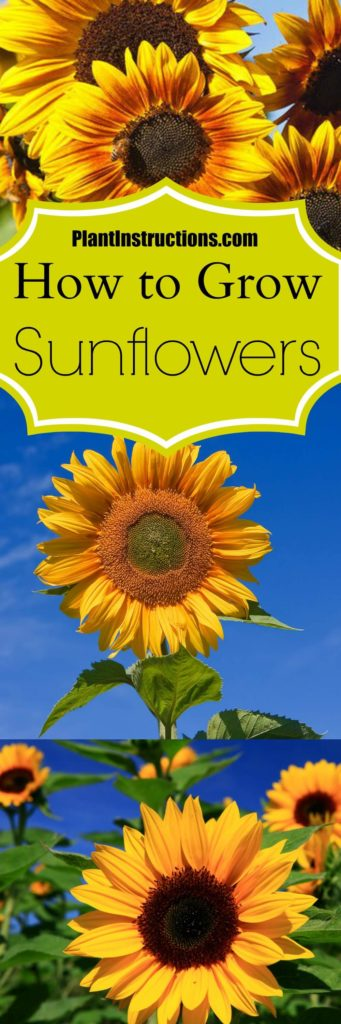 How to Grow Sunflowers in Your Garden - Plant Instructions