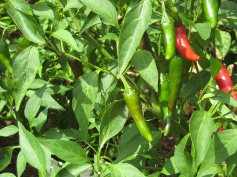 How to Grow Jalapenos: A Guide to Growing Jalapeno Plants