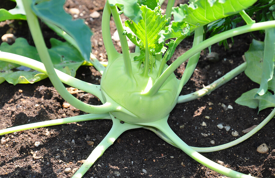 How to Grow Kohlrabi in Your Garden