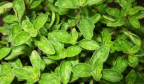 How to Grow Oregano From Seeds