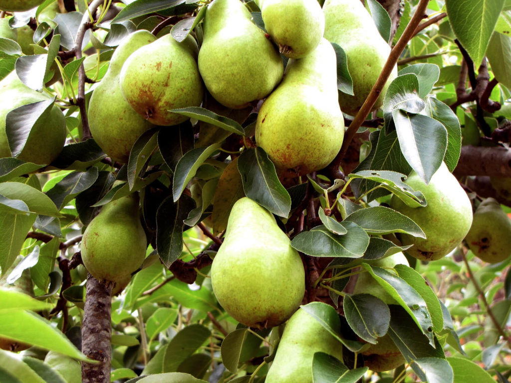 How To Grow A Pear Tree From Seeds Plant Instructions