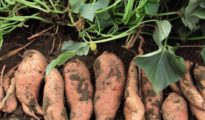 How to Grow Sweet Potatoes From Slips