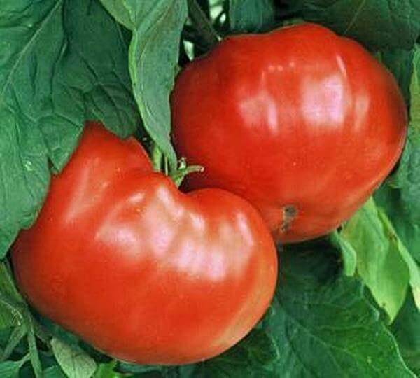 10 Tips for Growing Tomatoes in Your Garden