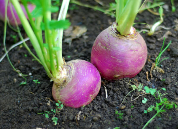 How to Grow Turnips From Seeds