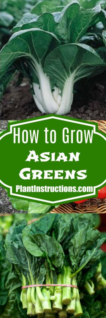 How to Grow Asian Greens