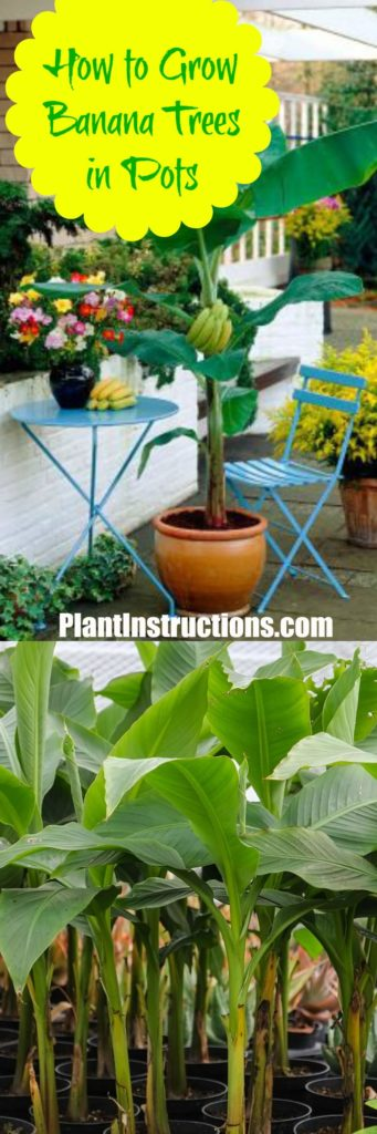 How to Grow Banana Trees in Pots