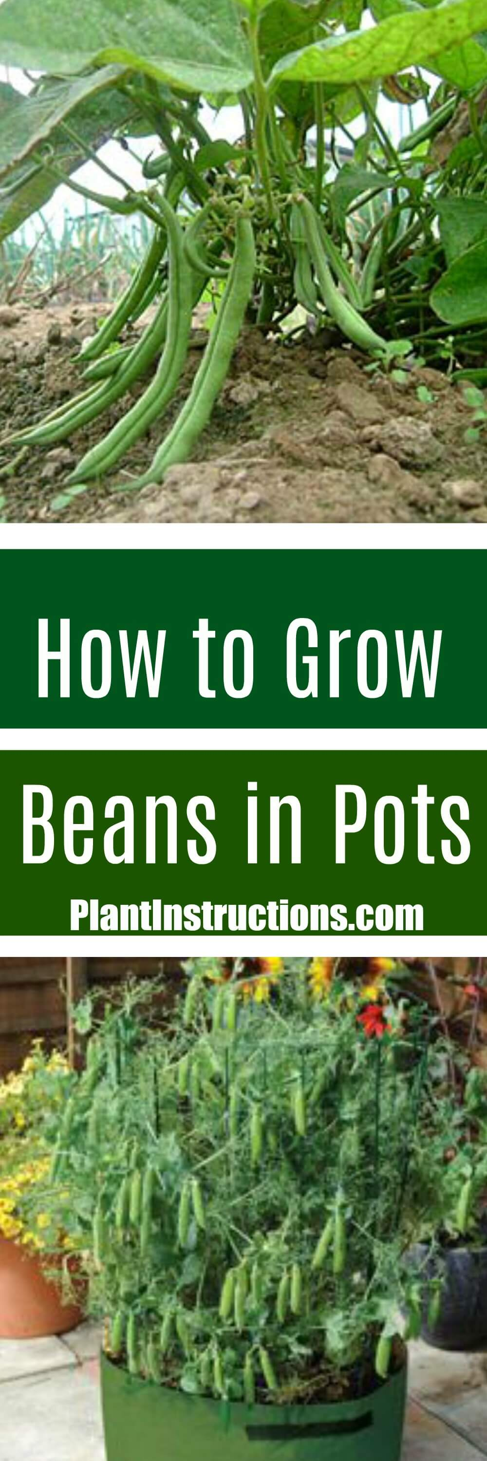 Today we\'ll show you how to grow green beans in a pot with our easy to follow gardening guide. Beans are easy to grow and don\'t require much care!