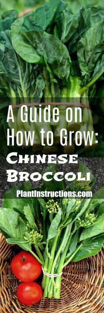 How to Grow Chinese Broccoli