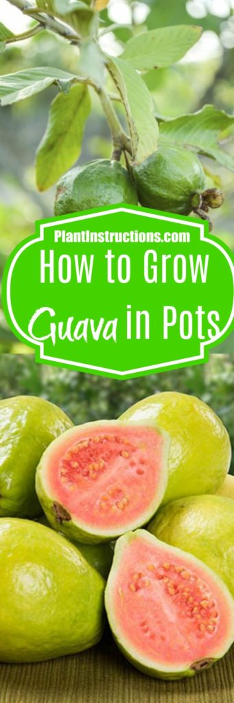 How to Grow Guava