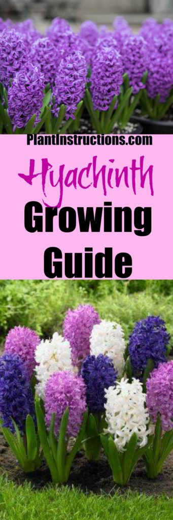 How to Grow Hyachints