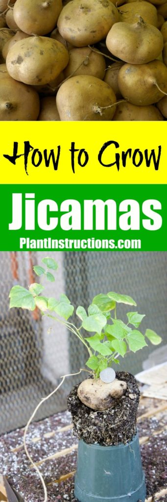 How to Grow Jicamas