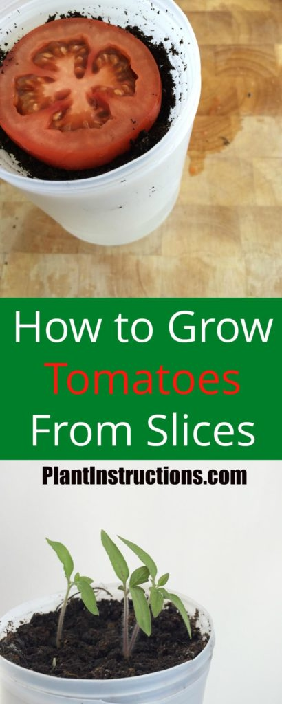How to Grow Tomatoes From Slices
