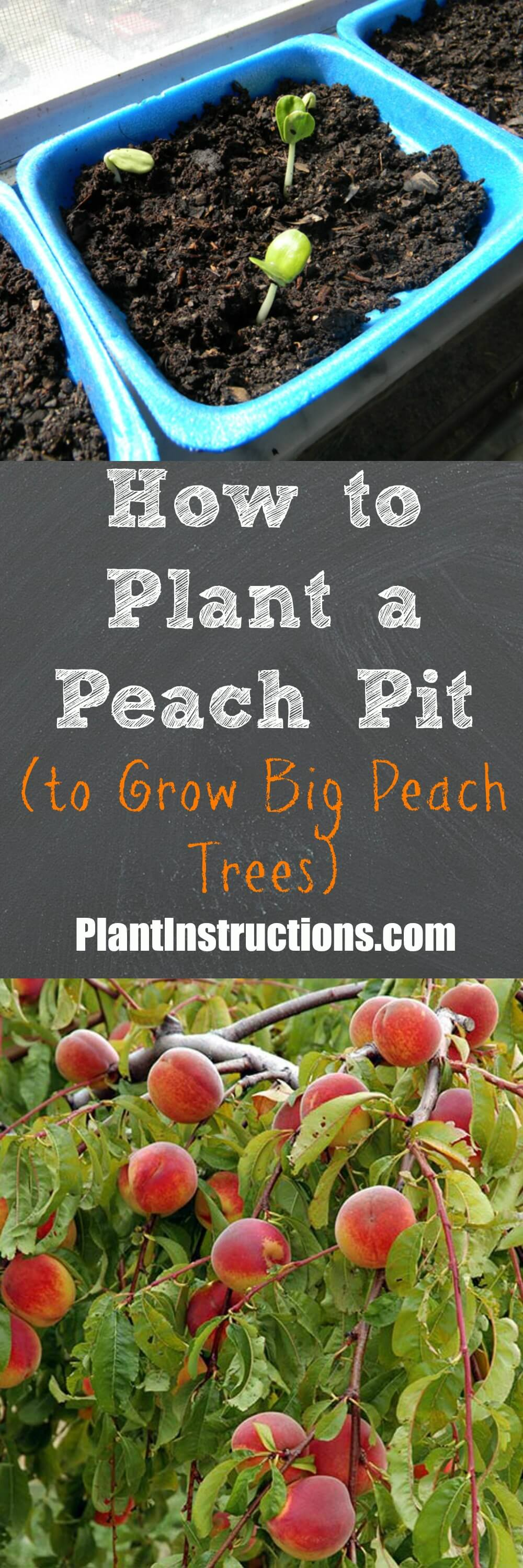 Today we\'ll show you how to plant a peach seed to successfully grow a peach tree and enjoy the fruits of your labor. All you need is a peach pit! #gardening #fruitgarden