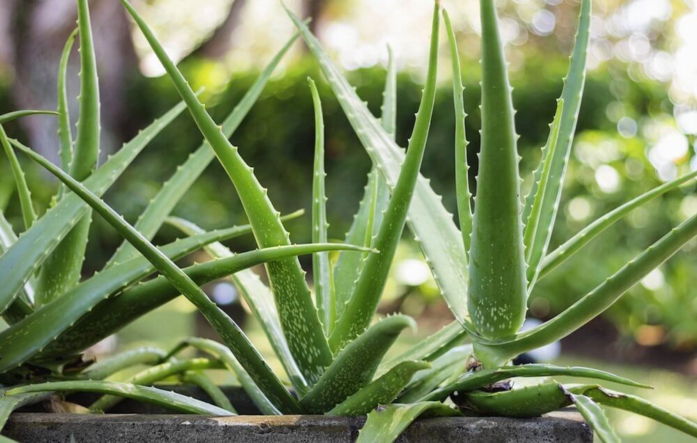 How to Care For Aloe Vera Plants