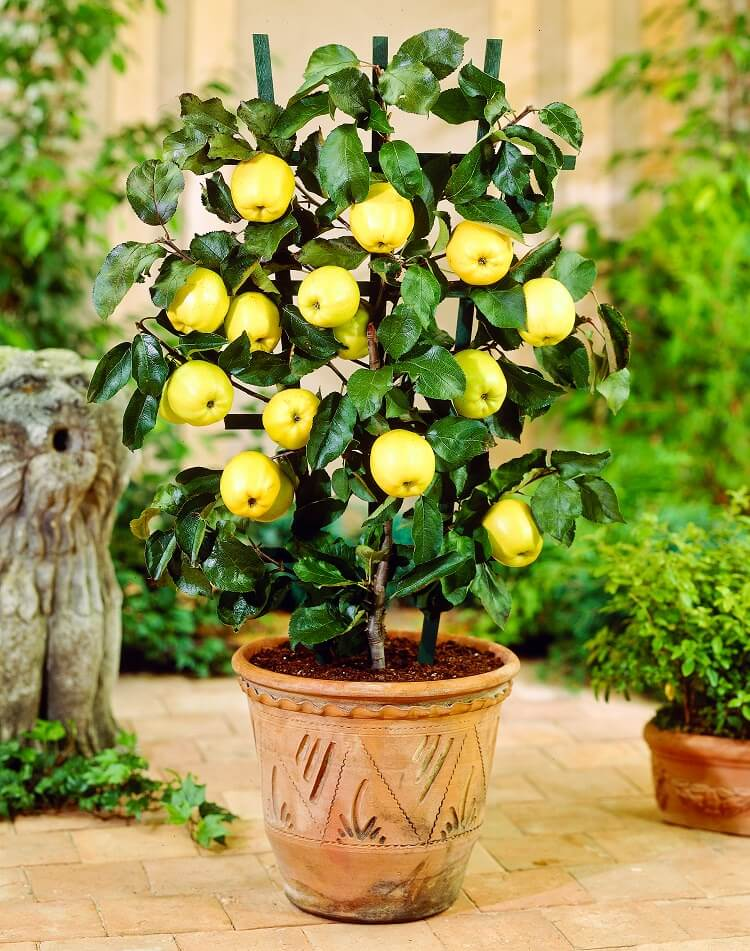 apple tree in pot