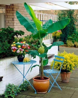banana tree in pot