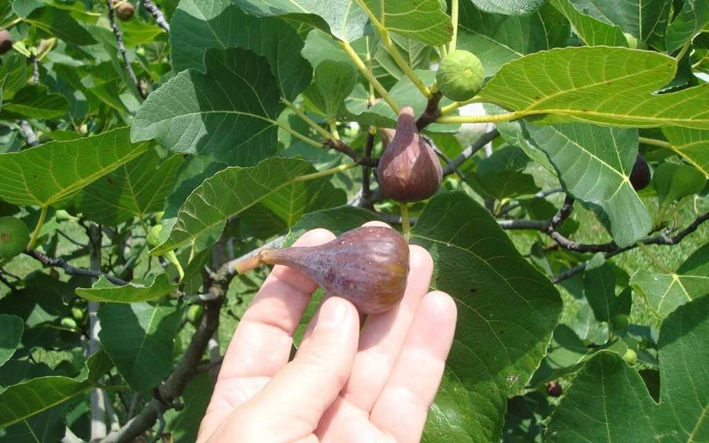 How to Grow Figs in Your Garden or in a Pot