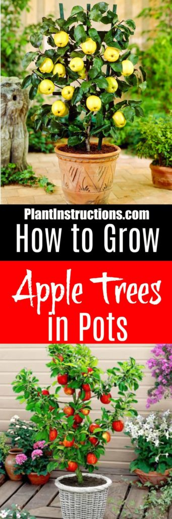 grow apple trees in pots