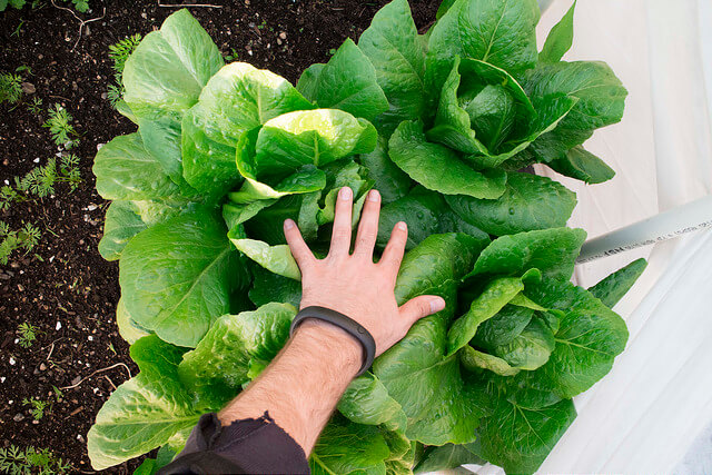 6 Tips for Growing Lettuce